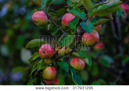 Red apples grow on an apple tree