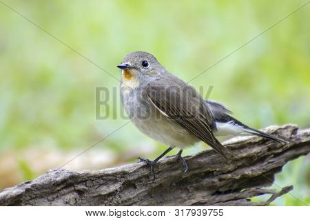 Bird, Red-throated Flycatcher (ficedula Albicilla) On The Branches Tree