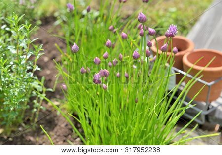 Flower Head Of Chives Blooming In A Garden