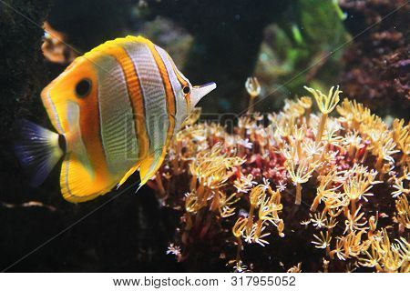 Copperband Butterflyfish From The Red Sea