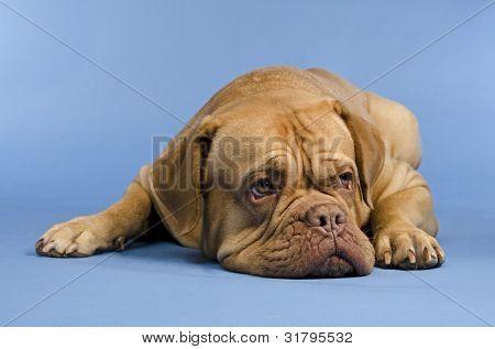 Dogue De Bordeaux lying against blue background