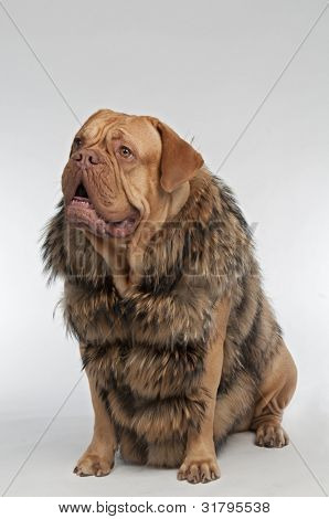 Wrinkled dog wearing raccoon fur coat