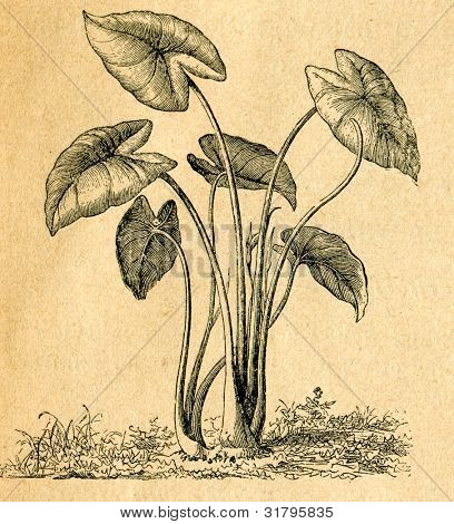 Colocasia esculenta - old illustration by unknown artist from Botanika Szkolna na Klasy Nizsze, author Jozef Rostafinski, published by W.L. Anczyc, Krakow and Warsaw, 1911
