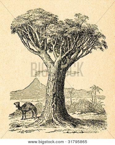 Dragon tree - gammal illustration av okänd konstnär från Botanika Szkolna na Klasy Nizsze, författare Jozef