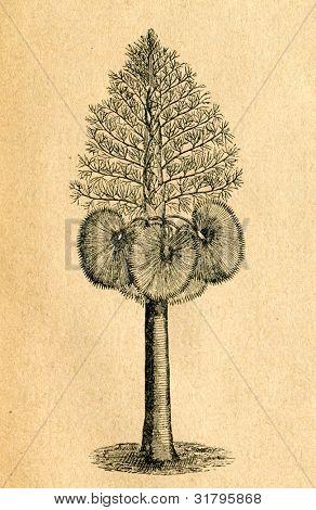 Corypha - gammal illustration av okänd konstnär från Botanika Szkolna na Klasy Nizsze, författare Jozef Ros