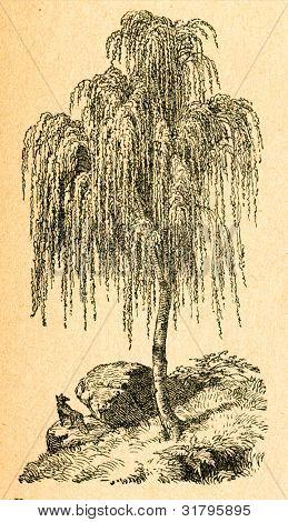 Gråt Björk - gammal illustration av okänd konstnär från Botanika Szkolna na Klasy Nizsze, författare Joz