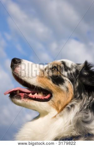 Blue Merle Tri-Color Australian Shepherd Closeup Of Profile