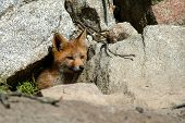 A red fox cub coming out of its den poster