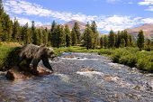 Grizzly bear crossing stream poster