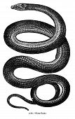 """An antique engraving of a glass snake from """"Museum of Animated Nature Volume II"""", published in 1844. poster"""