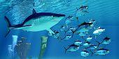 Mako Shark after Yellowfin Tuna 3d illustration - A carnivorous Shortfin Mako shark pursues a school of Yellowfin Tuna in the Pacific Ocean. poster
