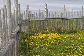 Traditional Wood Post Fence Around Grassy Meadow With Dandelions, Newfoundland