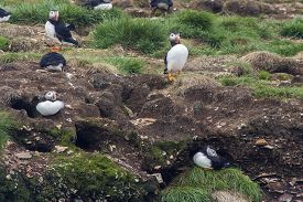 Atlantic Puffins And Their Nesting Places In Sod Burrows; Elliston, Newfoundland