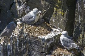 Kittiwakes With Chicks On Rocky Newfoundland Cliff