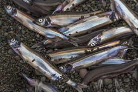 Capelin Lying On Beach After Spawning, Newfoundland