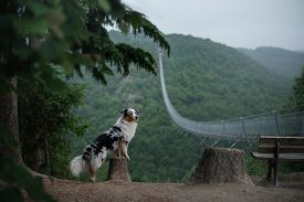 The Dog At The Bridge. Red Marble Australian Shepherd In The Beautiful And Mystical Landscapes. Trav