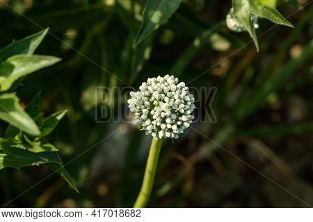 The Onion Flower Also Known As The Bulb Onion Is A Vegetable. The Inflorescence Takes The Form Of A