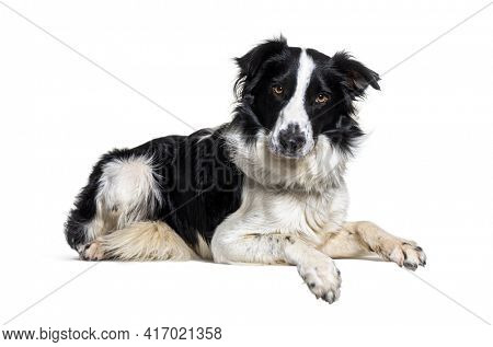 Lying down on a empty board Border collie dog looking at the camera