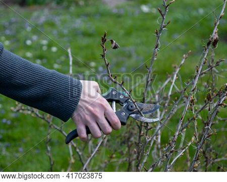 The Gardener Trims The Bushes. Spring Pruning Of Fruit Bushes: Gooseberries, Currants.