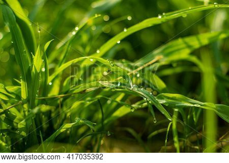 A Wonderful Backdrop Or Background Of Morning Dew On The Green Grass