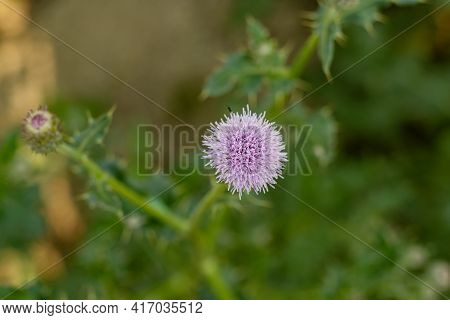 Bull Thistle Is A Widespread Biennial Thistle Originally From Europe And Asia And Bull Thistle Is A
