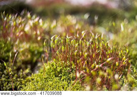 Macro Shot Of Red Stalks Of Moss With Green Spore Capsules. Macro Natural Background.