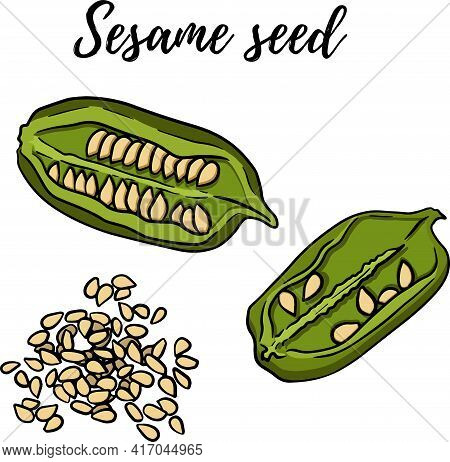 Hand Drawn Sesame Seeds Vector Illustration. Use For Cosmetic Products Or Food. Sketch Style Vector
