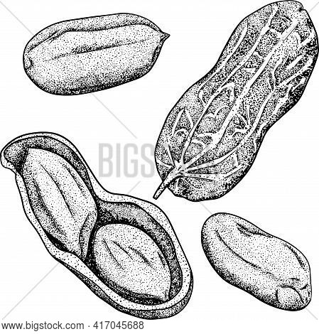 Hand Drawn Peanut Vector Illustration. Peanut. Use For Cosmetic Products Or Food. Sketch Style Vecto