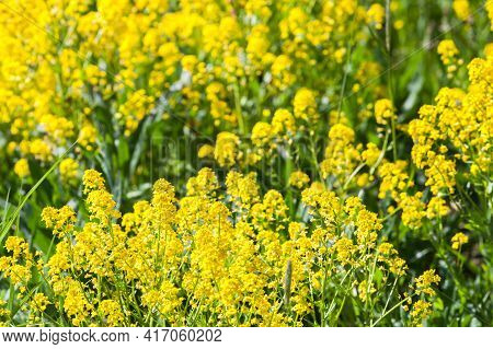 Yellow Flowers Of Barbarea Vulgaris On A Sunny Summer Day, Closeup Photo With Selective Focus