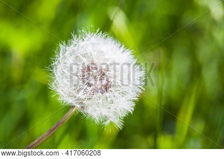 Dandelion Flower With White Fluff, Close Up Photo With Selective Soft Focus