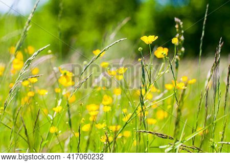 Wild Yellow Flowers Grow On A Summer Meadow. Creeping Buttercup, Ranunculus Repens