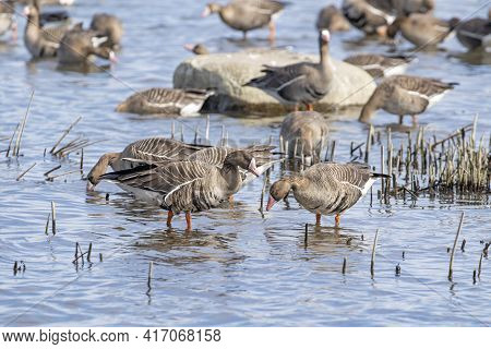 Greater White-fronted Geese (anser Albifrons) Resting And Eating During Spring Migration At The Coas