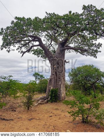 Profile Of The Crown And Trunk Of  Baobab Growing In The African Savanna. A Typical Baobab Tree Agai