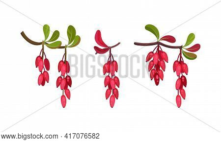 Red Berberis Or Barberry Hanging On Leafy Twig Vector Set