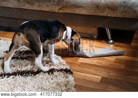 Little Beagle Puppy Chewing Couch, Furniture. How To Stop Puppy From Destructive Chewing Furniture.