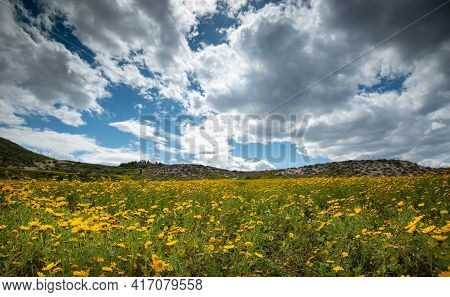 Field With Yellow Wild Marguerite Daisy Flowers In Spring. Springtime Landscape