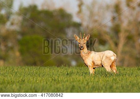 Albino Roe Deer Standing On Grassland In Spring Sun