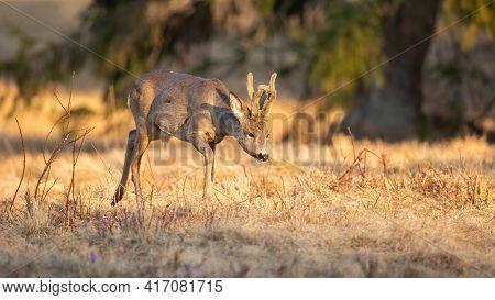 Enchanting Photo Of Roe Deer Buck Walking On The Spring Meadow