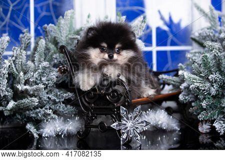 Puppy New Year's puppy pomeranian spitz  Christmas dog