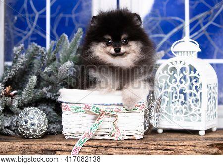 Puppy New Year's puppy pomeranian spitz; Christmas dog