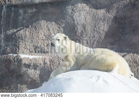 Big Polar Bear Is Lying On The White Snow. Ursus Maritimus Or Thalarctos Maritimus.