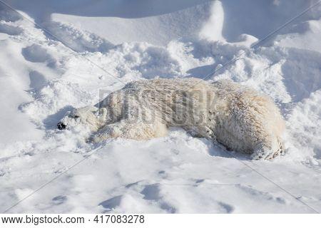 Polar Bear Cub Is Lying On The White Snow. Ursus Maritimus Or Thalarctos Maritimus.