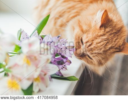 Cute Ginger Cat Sniffs Bouquet Of Alstroemeria Flowers On Window Sill. Fluffy Pet And Blossoming Pla