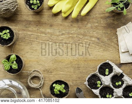 Basil Seedlings In Biodegradable Pots And Yellow Rubber Gloves. Top View On Green Plants And Agricul