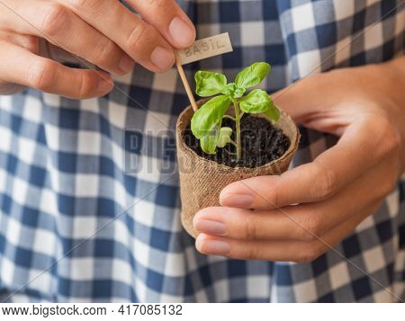 Man In Blue Plaid Robe Holds Basil Seedling In Peat Pot. Spring Is Season Of Growing Plants And Plan