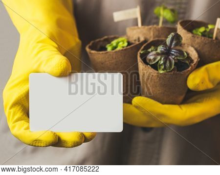 Man In Gray Robe And Yellow Rubber Gloves Holds White Card With Copy Space And Basil Seedlings In Pe