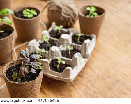 Basil Seedlings In Biodegradable Pots On Wooden Table. Green Plants In Peat Pots And Seeds. Reuse Of