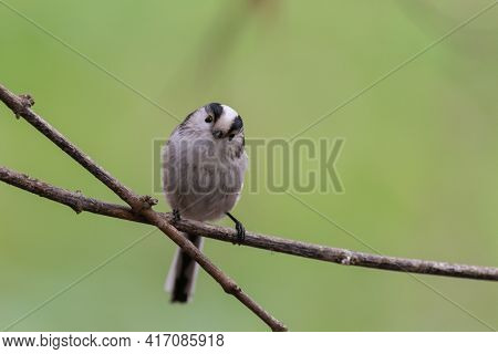Long-tailed Tit Aegithalos Caudatus In The Wild.