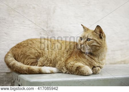 Portrait Of Stray Ginger Cat. Cute And Shabby Homeless Animal. Fluffy Mammal On Beige Wall Backgroun