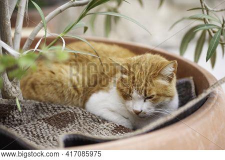 Portrait Of Stray Ginger Cat Sleeping In Flower Pot. Cute And Shabby Homeless Animal. Fluffy Mammal